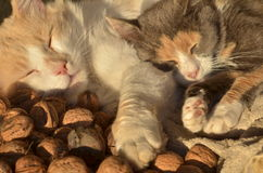Two sleeping cats Stock Photography