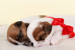 Two sleeping cute puppies. Two sleeping puppies sleeping decorated with red bow Stock Image