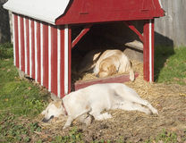 Two sleeping dogs on a farm Stock Images