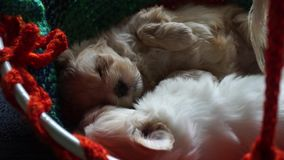 Two sleeping and dreaming havanese puppys - zoomed. Video of two small sleeping havanese puppys with a macro zoom on a fluffy brown baby, which is breathing and stock video footage