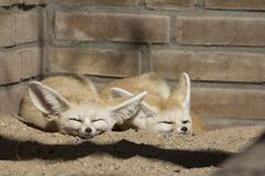 Two sleeping Fennec foxes in front of a brick wall. stock image