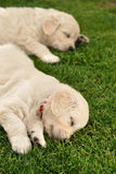 Two sleeping golden retriever puppies. On green grass stock image