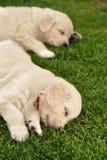Two sleeping golden retriever puppies Stock Image