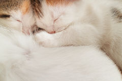 Two sleeping kitten Royalty Free Stock Images