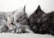 Two sleeping kittens Royalty Free Stock Image