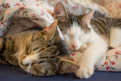 Two sleeping kittens Royalty Free Stock Photography