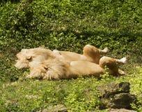 Two Sleeping Lions Stock Photos