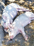 Two sleeping pigs Royalty Free Stock Images