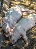 Two sleeping pigs Stock Image