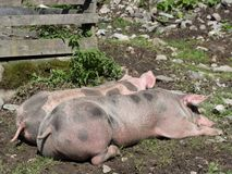 Two sleeping pigs in a pasture royalty free stock images