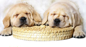 Two sleeping puppies. Stock Images