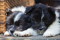 Two sleeping puppies. Two Elo (German dog breed) puppies lying on the ground asleep Royalty Free Stock Photography
