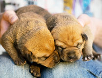 Two sleeping puppies on a lap. Two darling of little puppies sleep on a lap having nestled noses to each other Royalty Free Stock Photography