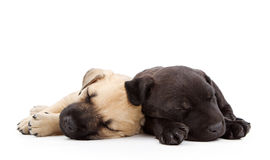 Two sleeping puppies laying together. Two young lab shepherd mix puppies sleeping together.  Isolated on white Royalty Free Stock Photo