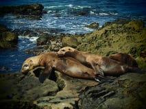 Sea Lions in La Jolla California. Two sleeping sea lions on mossy rocks in La Jolla, California royalty free stock photography