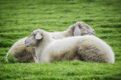 Sleeping Sheeps at grass. Two Sleeping Sheeps at Green Grass Royalty Free Stock Images