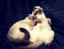 Two sleeping Siamese cat Stock Photos