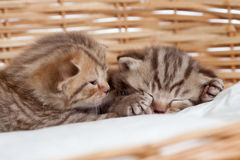 Two sleeping small kittens in wicker basket Royalty Free Stock Image