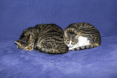 Two sleeping tabby cats royalty free stock photos