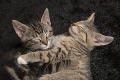 Two sleeping kittens holding each other. Two sleeping tabby kittens cats holding each other on a black velvet background Stock Photography