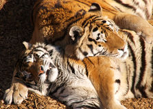 Two Sleeping Tigers. A color image of two tigers sleeping together Stock Images
