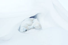 Two sleeping white bear cubs. Two white bear cubs sleep in a snow cave stock images