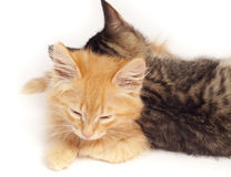Two sleepy kittens Stock Photography