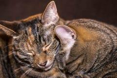 Two Sleepy Tabby Cats royalty free stock photo