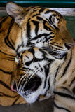 Two sleepy tigers. Two young asian tigers sleep together. Couple tigers Royalty Free Stock Photos