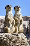 Two slender tailed meerkats. Close-up of a couple of meerkats sitting and looking to the same place Royalty Free Stock Photography