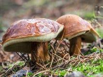 Two slippery jack mushrooms Royalty Free Stock Image