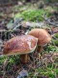 Two slippery jack mushrooms Royalty Free Stock Photo