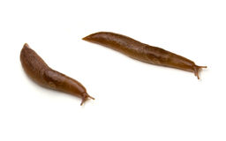 Two Slugs Isolated Stock Image
