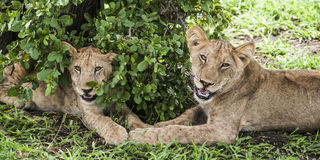 Small lions in Africa Royalty Free Stock Photography