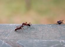 Ants. Two small ants are fighting Royalty Free Stock Photos