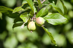 Two small apples in the garden Royalty Free Stock Photo