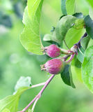 Two small apples on tree branch in the garden Stock Image