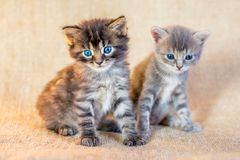 Two small attractive kittens with a trusting look_ royalty free stock image