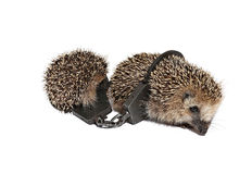Two small ball held together buttoned handcuffs isolated. Two small hedgehogs, held together buttoned handcuffs isolated on white background Royalty Free Stock Photography