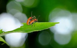 Two small beetles mating on a leaf Royalty Free Stock Images