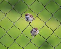 Two small funny bird Sparrow sitting on a metal fence netting su Royalty Free Stock Images