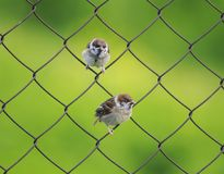 Two small funny bird Sparrow sitting on a metal fence netting su Stock Images