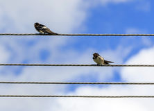 Two small birds sitting on elecric wires. With blue sky and white clouds in background Royalty Free Stock Images