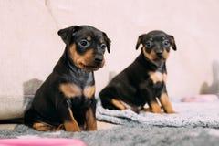 Two Small Black Miniature Pinscher Zwergpinscher, Min Pin Puppy. Dogs Sitting On Floor Stock Photography