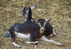 Two small, black and white color goatling lying on the floor Royalty Free Stock Image