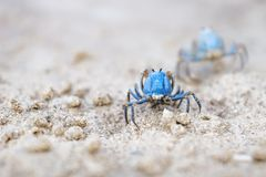 Two Blue crabs from the back on the white beach of Siquijor, Philippines, Asia. Two small Blue crabs from the back on the white beach of Siquijor, Philippines stock images