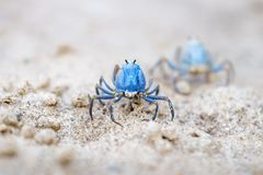 Two Blue crabs walking on the white beach of Siquijor, Philippines, Asia. Two small Blue crabs walking on the white beach of Siquijor, Philippines, Asia royalty free stock image