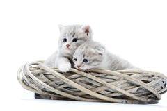 Two small blue-eyed newborn fluffy kittens being curious and looking to the side while playing in white wicker wreath in. White photo studio. Adorable cute Royalty Free Stock Images