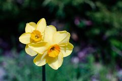Two small bright, happy, cheerful, yellow gold orange small cup unique spring Easter daffodil bulbs blooming in outside garden in stock photography