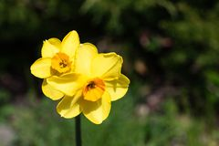 Two small bright, happy, cheerful, yellow gold orange small cup unique spring Easter daffodil bulbs blooming in outside garden in royalty free stock image